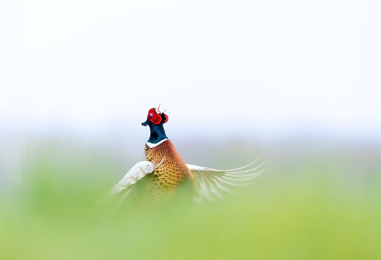 Pheasant-8610.jpg