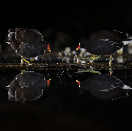 A Quartet of Moorhens