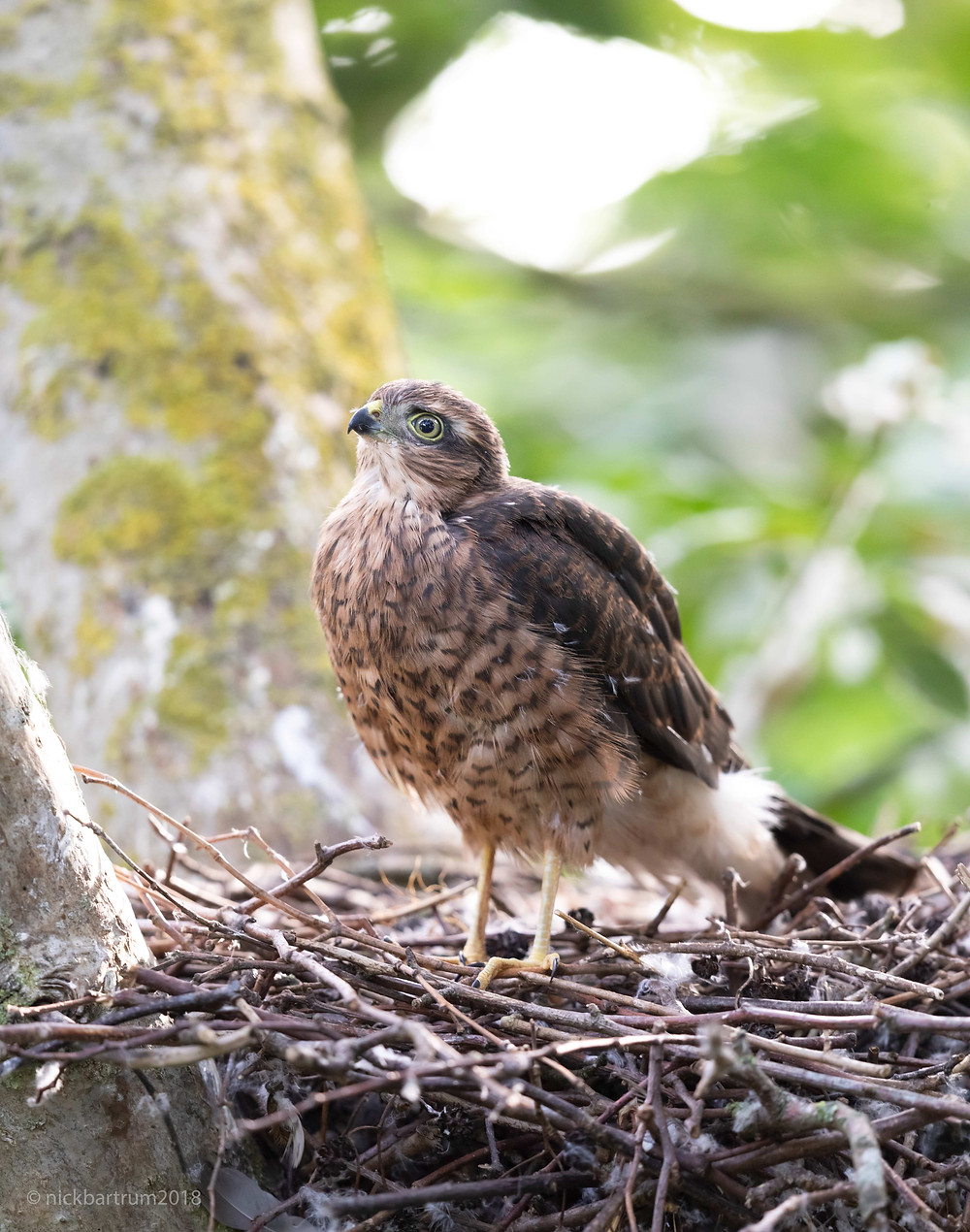One of the juvenile hawks stirring after hearing the adult's call.