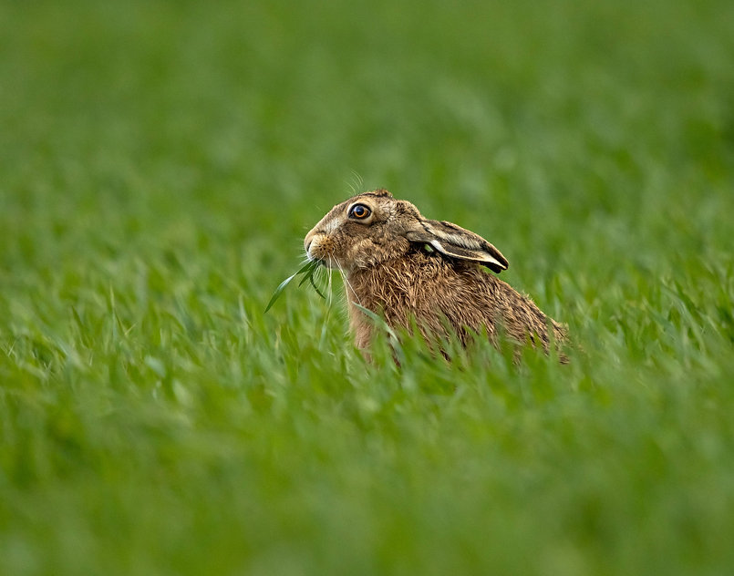 Hare-4639.jpg