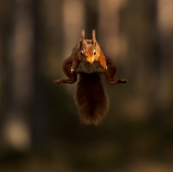 Red (flying) Squirrel