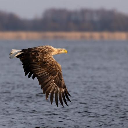 Eagles of the Oder Delta