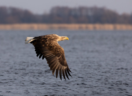 Eagles of the Oder Delta