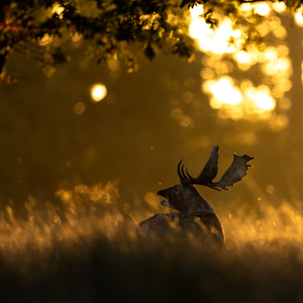 The Sundown Stags of Suffolk