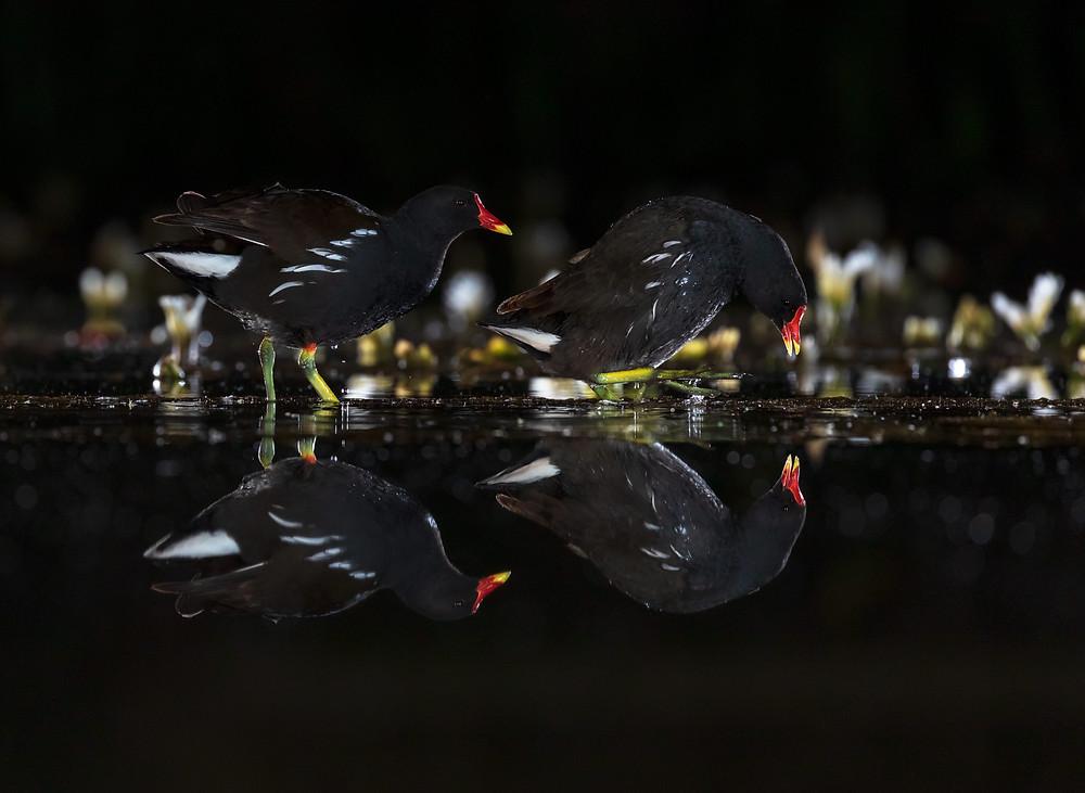moorhens, wildlife photography hides, water, breeding, reflection, flash photography