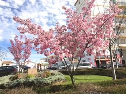 日本広場の桜
