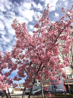 桜とロンダ(日本広場)