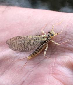 Beautiful Mayfly