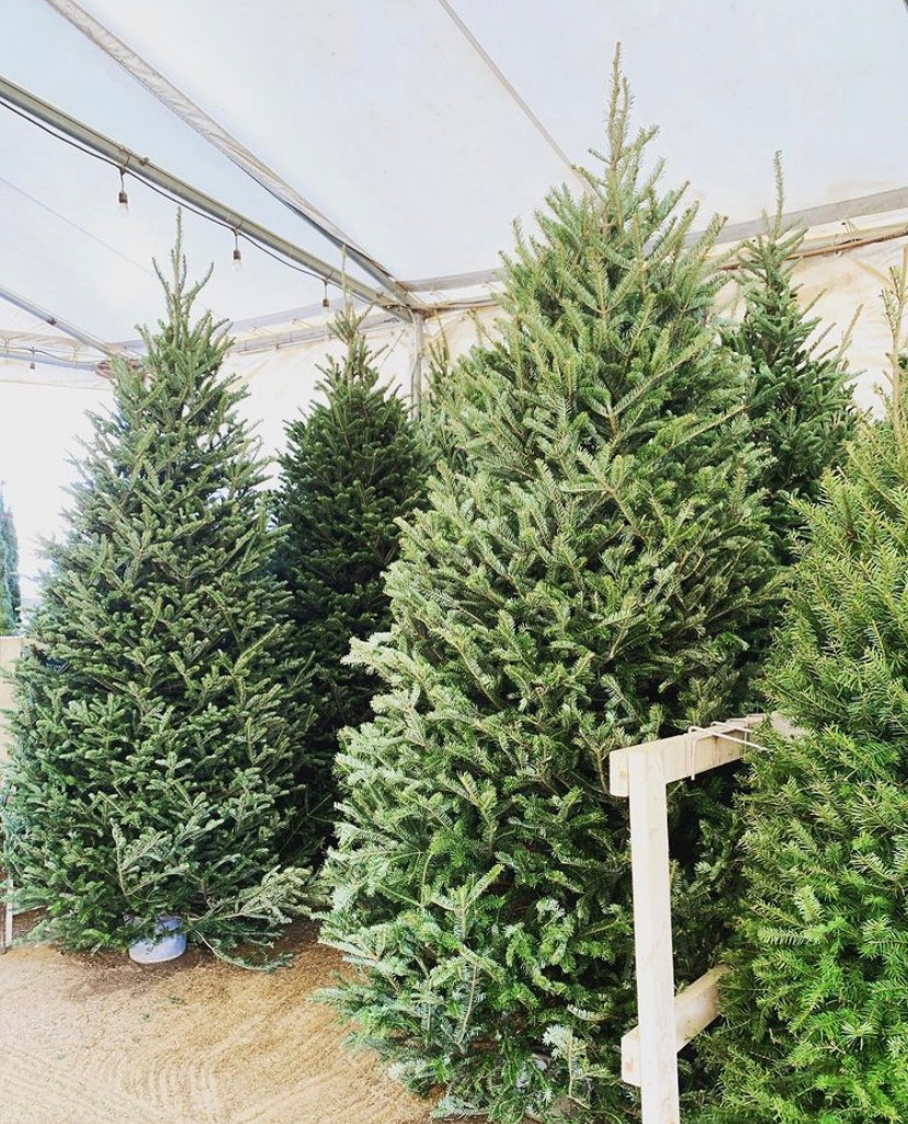 Christmas Tree Farms Oma's Lakeside Best Top Holiday Christmas events activities list guide for families kids are still happening in San Diego December 2020 what to do this year