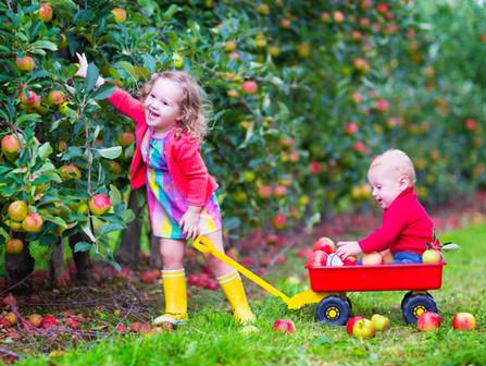 Organic Apple Picking in Julian