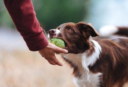 Brown border collie puppy brought the ball hostess and lays down his hand