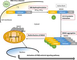 14-3-3η promotes MDA5 activation