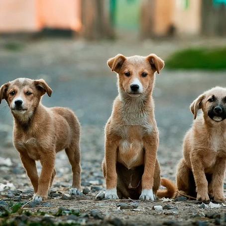 Social behavior of feral dogs