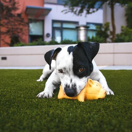Play Behavior in Dogs