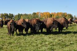 2015 Bulls happy on grass.