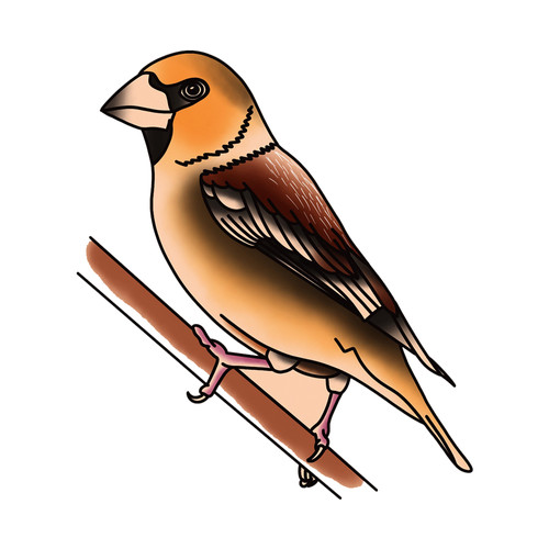 Traditional Hawfinch