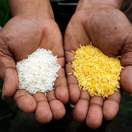 Golden Rice - un OGM contro la carenza di vitamina A
