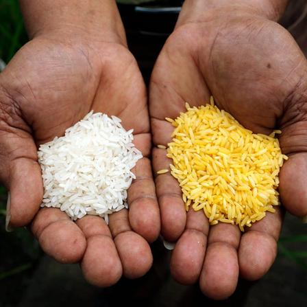 Golden Rice - un OGM contro la carenza di vitamina A
