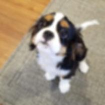 Cavi puppy Gracie.jpg