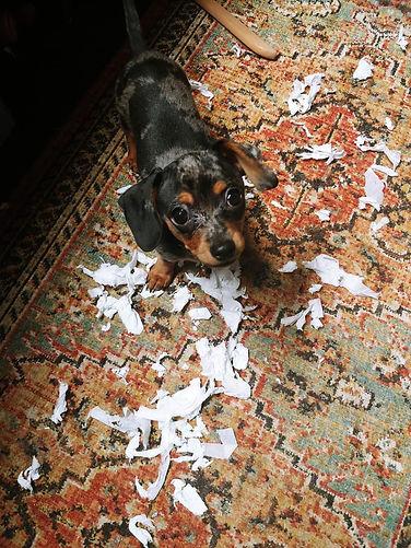 puppy with kleenex.jpg