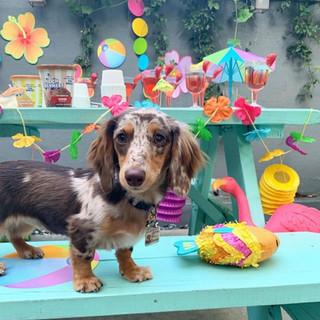 Doggie Summer Social