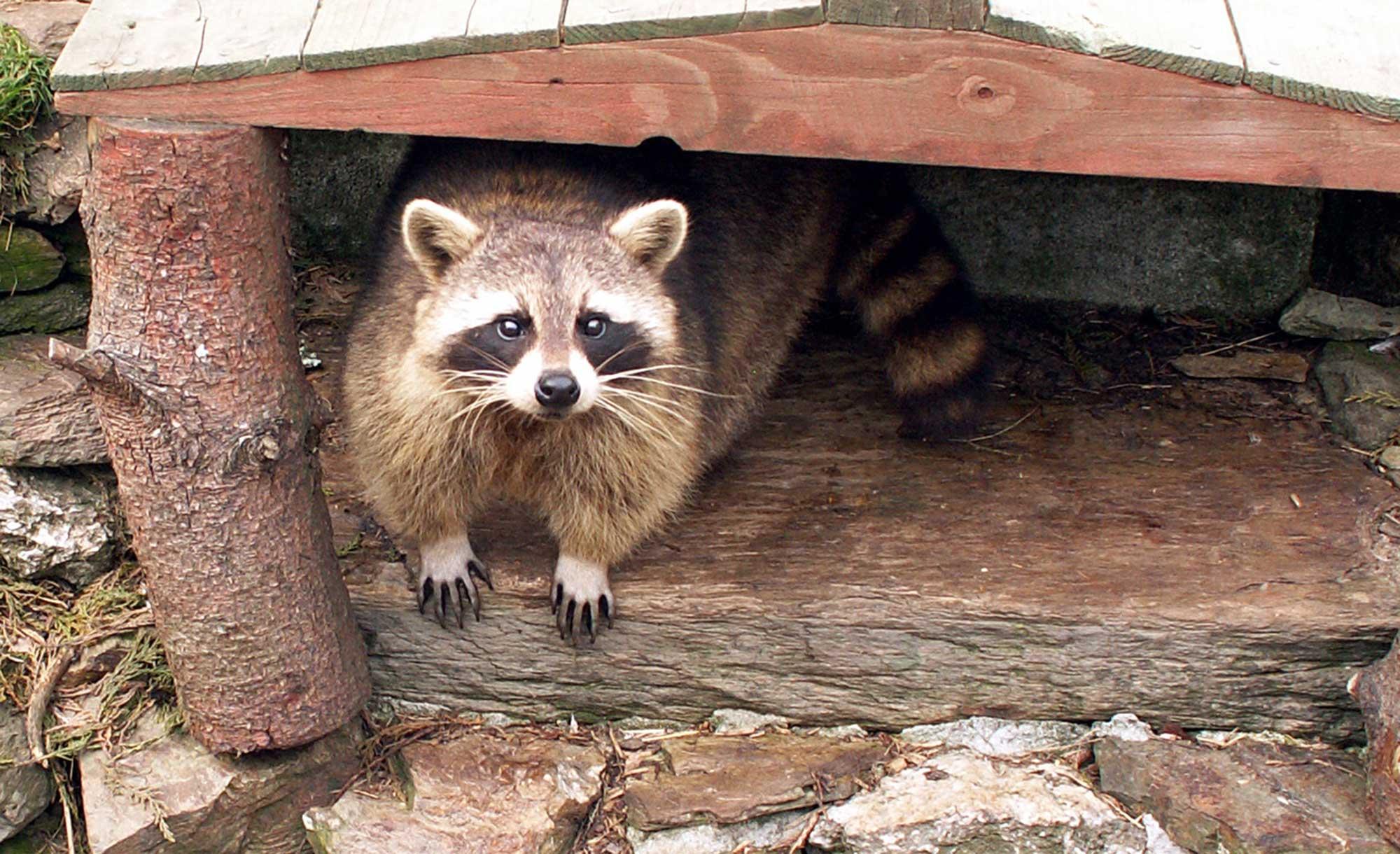 Raccoons & Opposums
