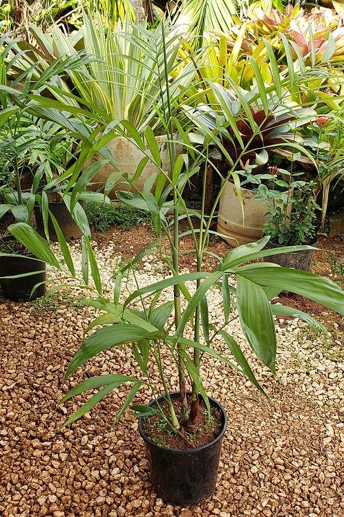 Chamaedorea seifrizii 'Bamboo Palm'