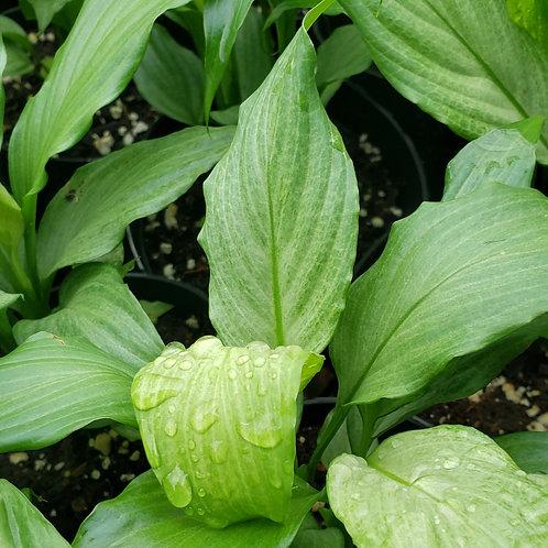 Spathiphyllum Platinum Mist (starter plant)