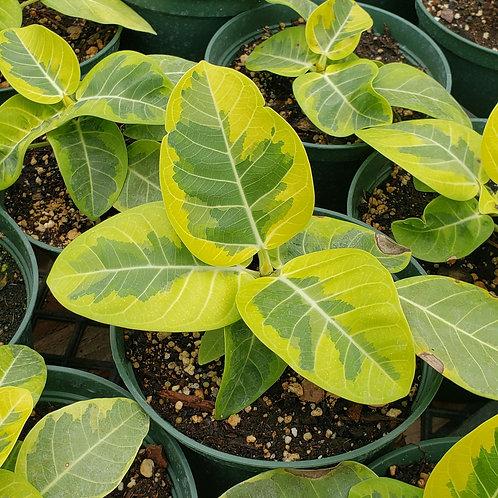 Ficus Elastica Altissima (starter plant)