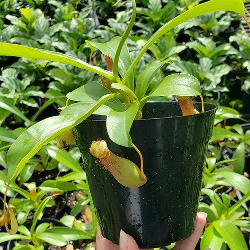 Nepenthes Alata