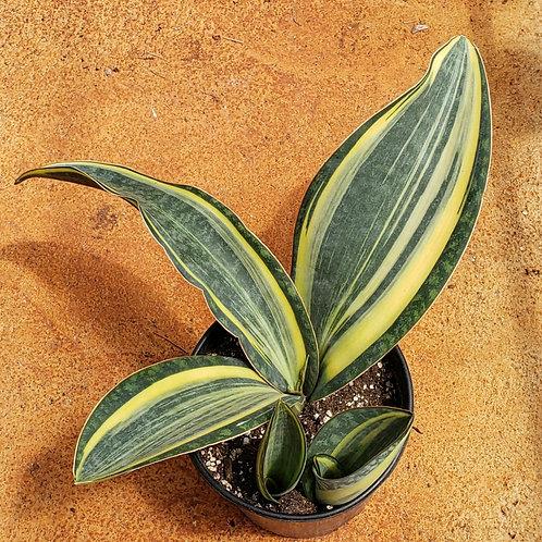 Sansevieria Masoniana variegated
