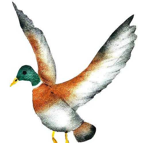 Vliegende eend met open vleugels