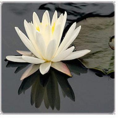 The Lotus Mind Meditation