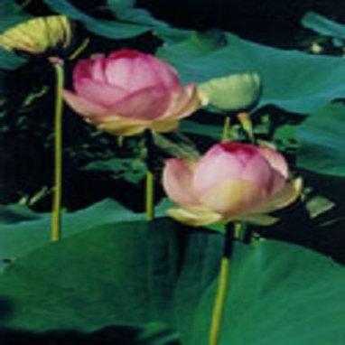 The Lotus Mudra