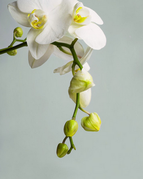 White Orchid.png