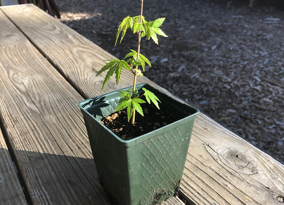 Maple Tree Seedling