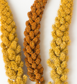 Small Seeds with Big Benefits-Finger Millet