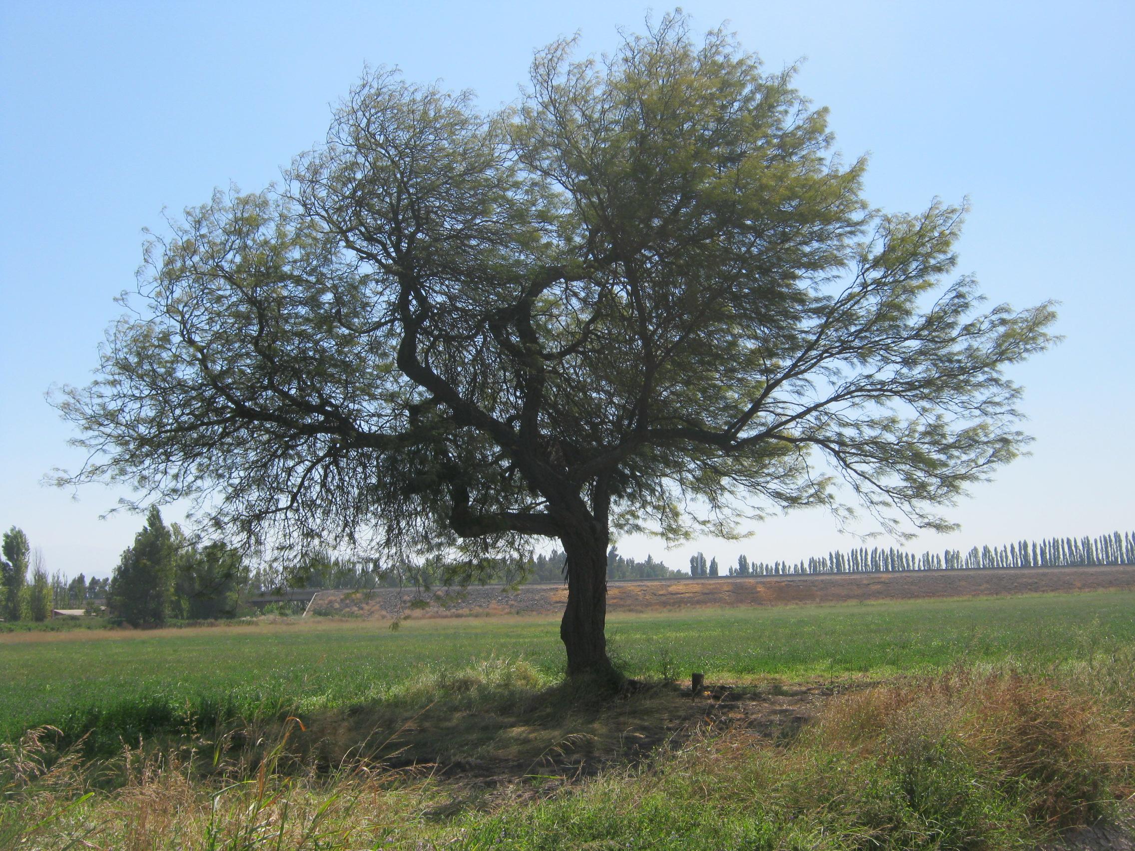 Espino Fundo Santa Sofia Polpaico