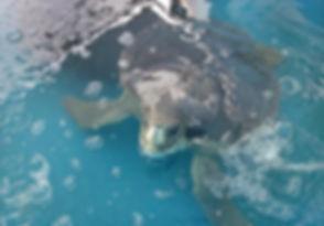 flat back turtle.jpg