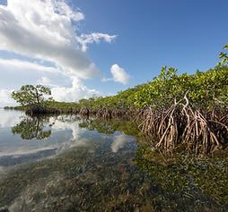 mangroves.webp