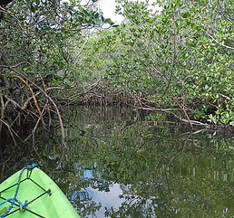 Mangrove Kayaking.JPG