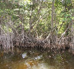 Mangrove Swamp.JPG