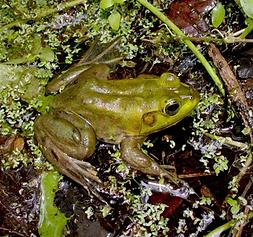 Pig Frog.png