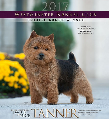 "GCH. Taliesin Twice As Nice, ""Tanner""  America's Number 1 Norwich Terrier 2016"