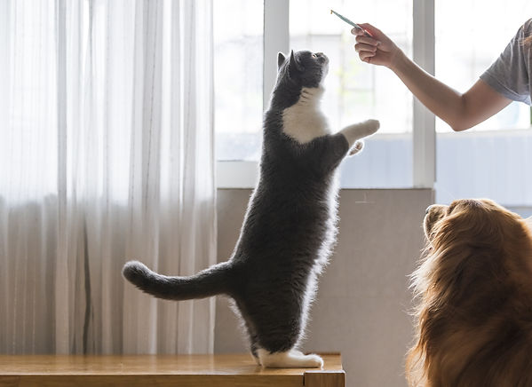 Clicker training your cat