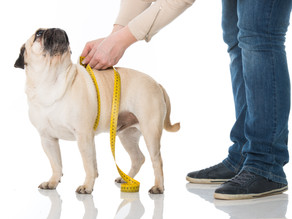 Obesity and your pet