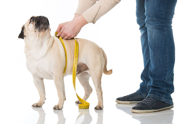 How to treat obesity in pets