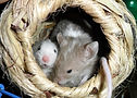 NZ Rodent Rescue & Welfare Groups