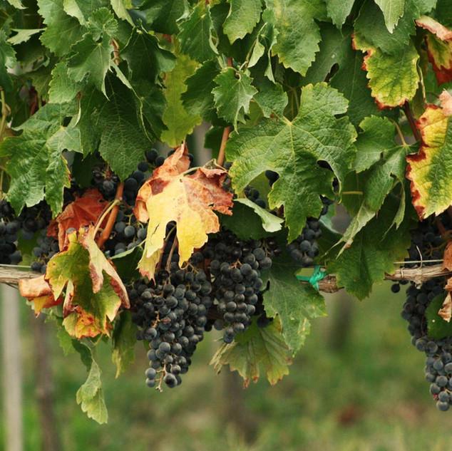 Swiss grape varieties