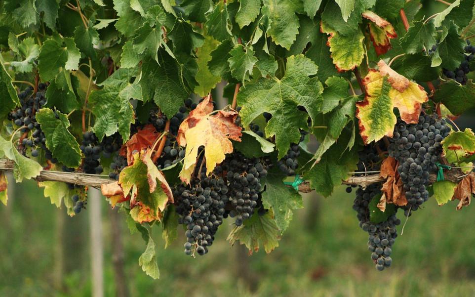 Grape Leaves as Food